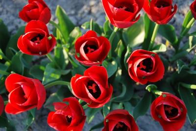 Tuliptop